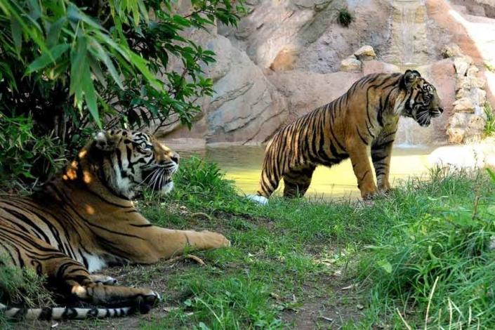 Tigri-di-Sumatra-al-Bioparco-di-Roma