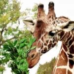 """Bioparco di Roma """"Giraffa, un animale da record!""""."""